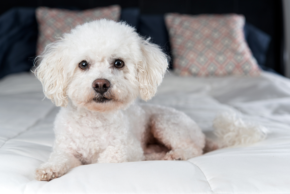 Petland Florida picture of white Bichon Frise on white comforter on bed.