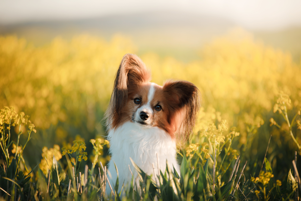Petland Florida picture of cute Papillon puppy staring into the camera on a field.