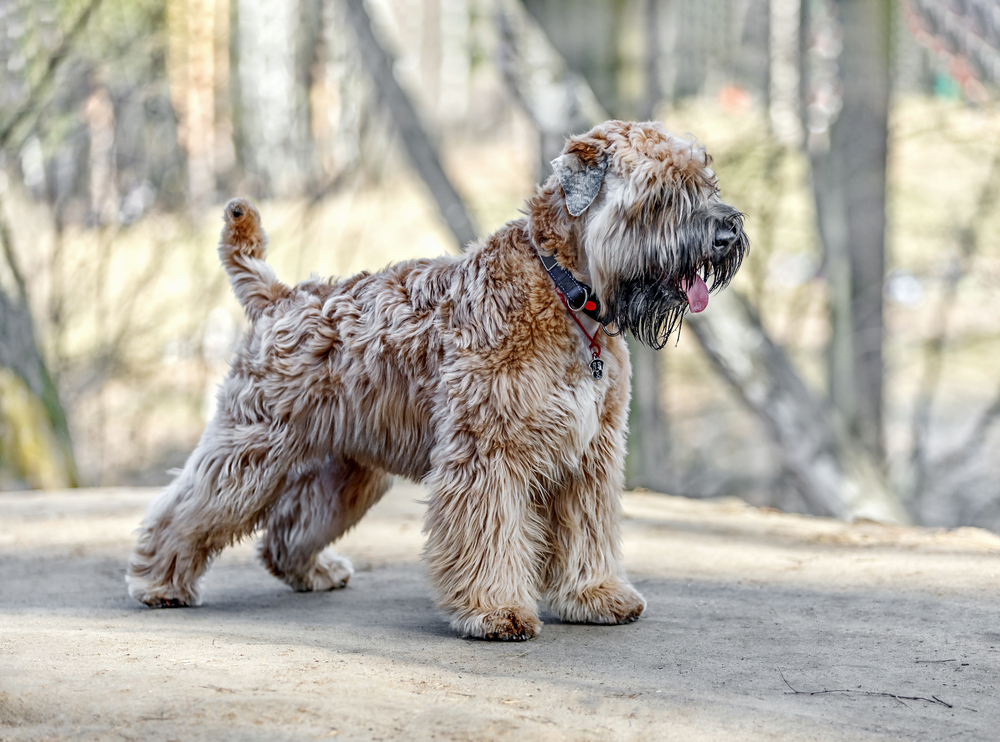Petland Florida picture of Soft-Coated Wheaten Terrier standing in a forest.