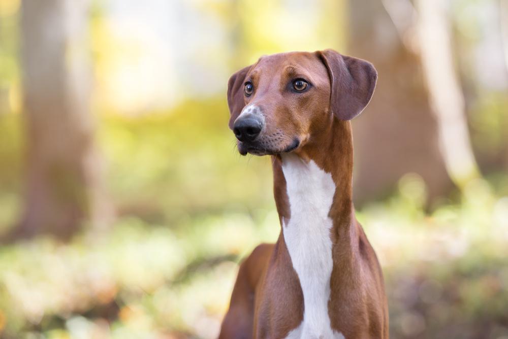Petland Florida picture of beautiful Azawakh dog outside.