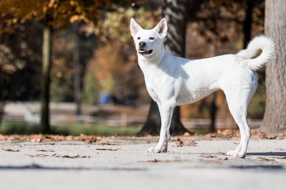 Petland picture of cute Canaan dog in autumn.