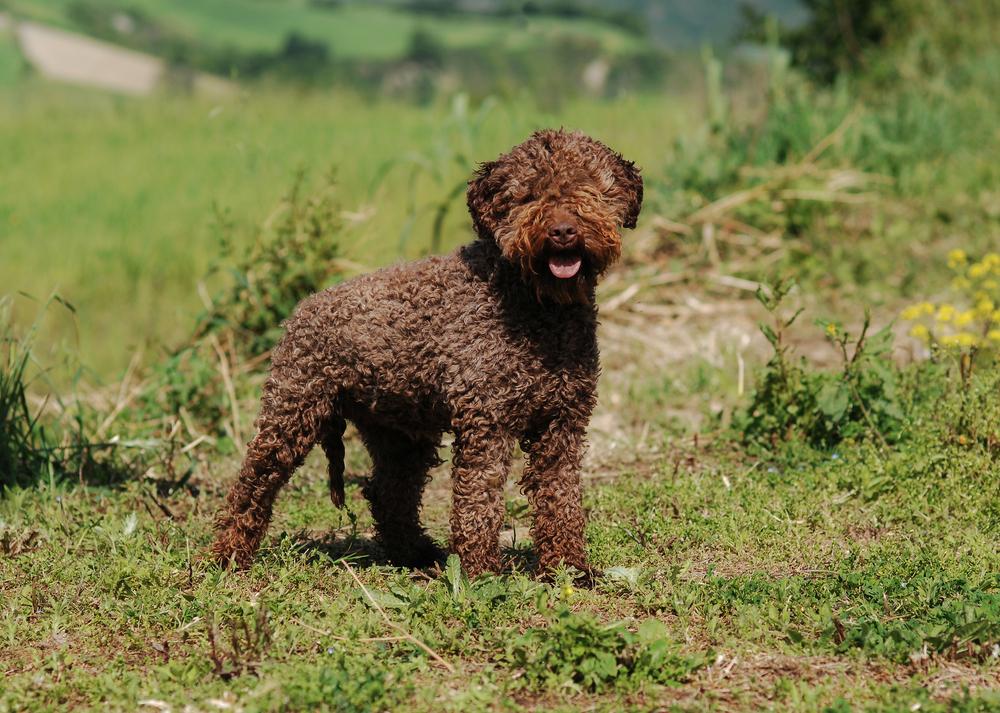 Petland Florida picture of Lagotto Romagnolo dog outside.
