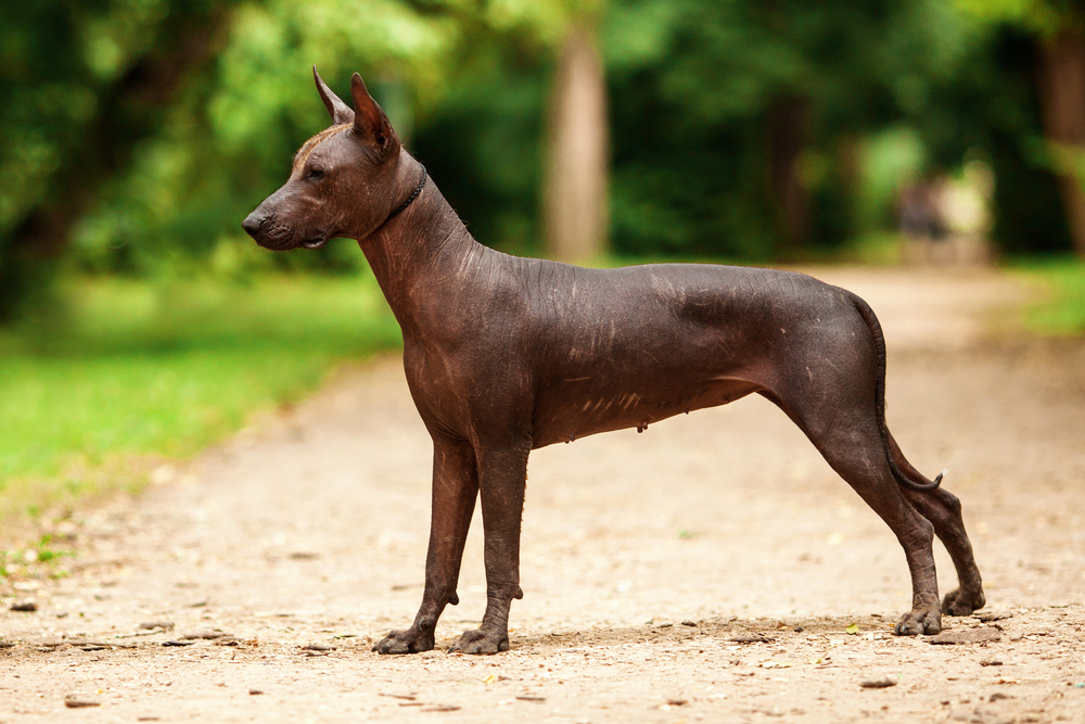 Petland Florida picture of Xoloitzcuintli puppy standing outdoors on ground with green grass and trees in background.