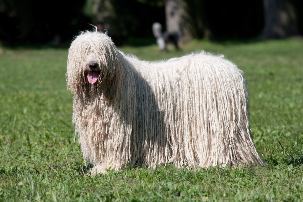 Petland Florida picture of beautiful Komondor (Hungarian sheepdog) puppy posing in the park.