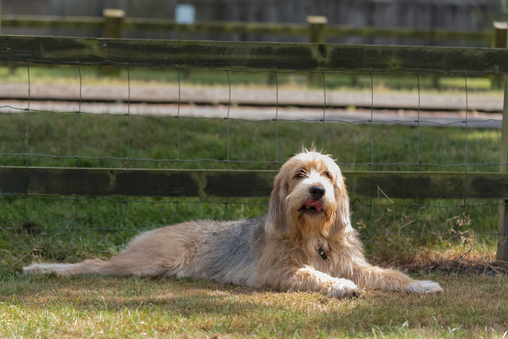 Petland Florida picture of cute Otterhound puppy lying in a field in front of a fence.