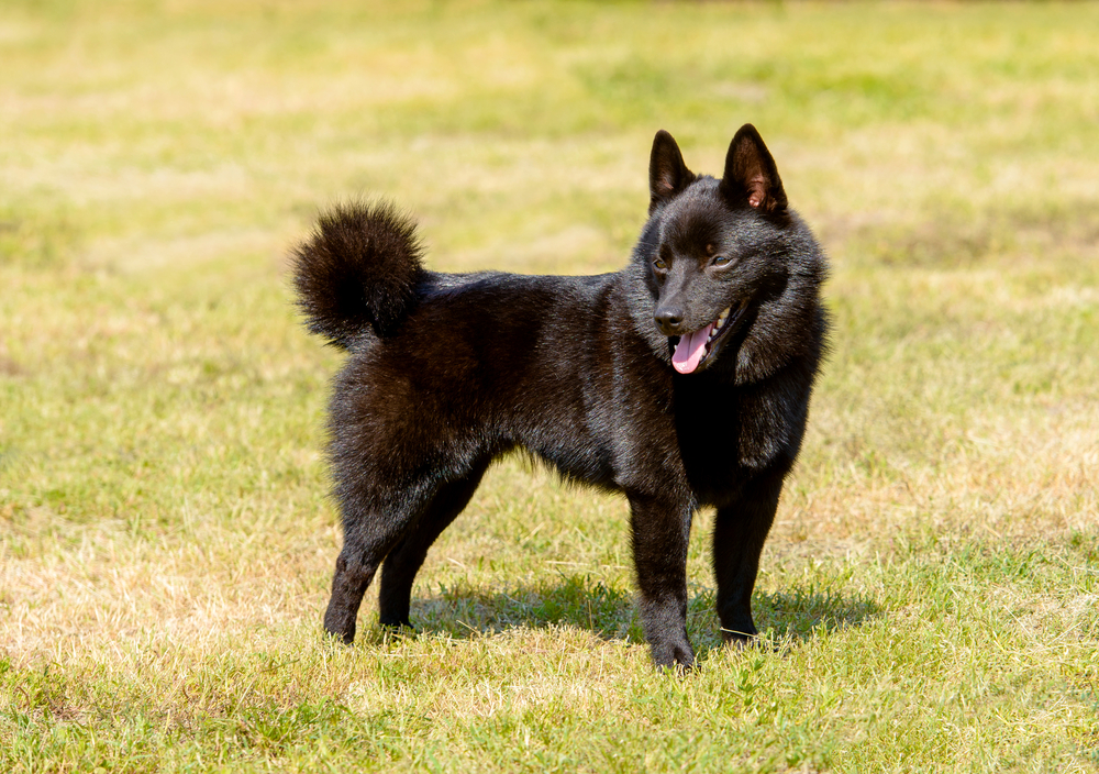 Petland Florida picture of Schipperke puppy standing on the grass.