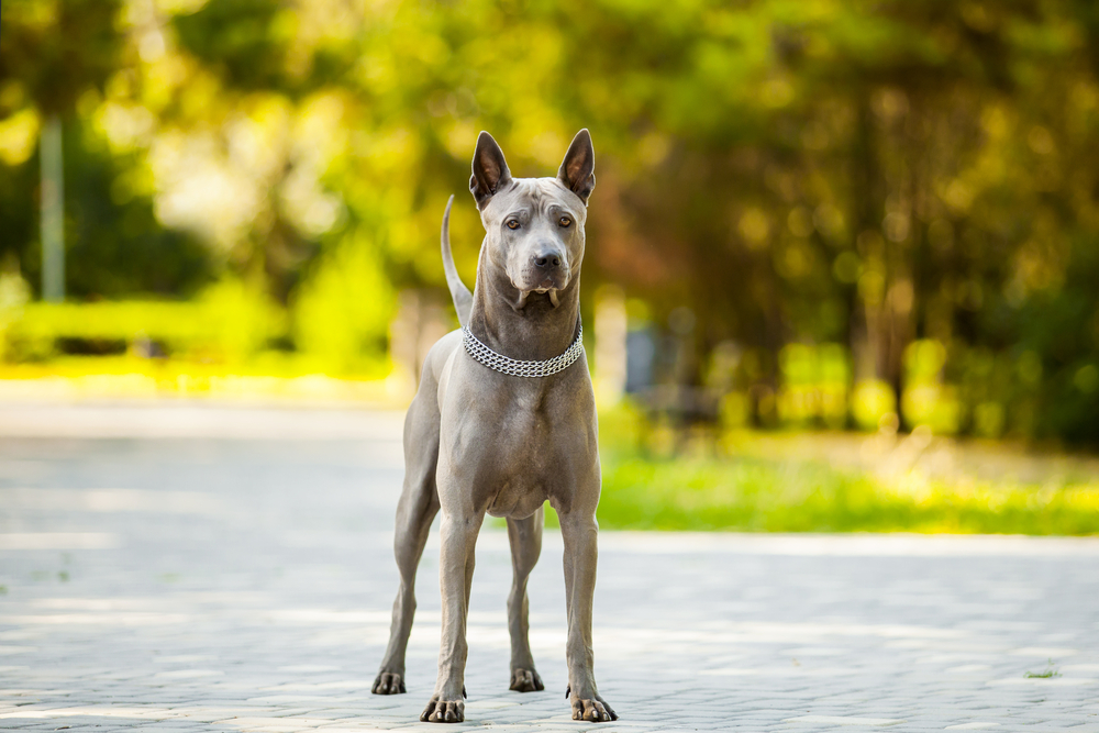 Petland Florida picture of beautiful Thai Ridgeback dog outside.
