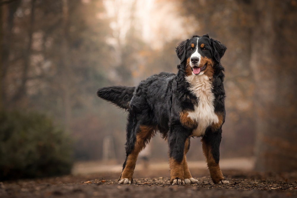 Petland Florida picture of adorable Bernese Mountain Dog standing on park path.