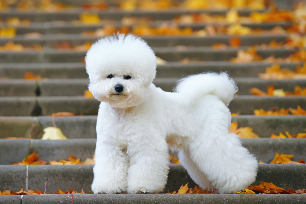 Petland Florida picture of cute Bichon Frise dog with a stylish haircut standing on the stairs in a park in autumn.