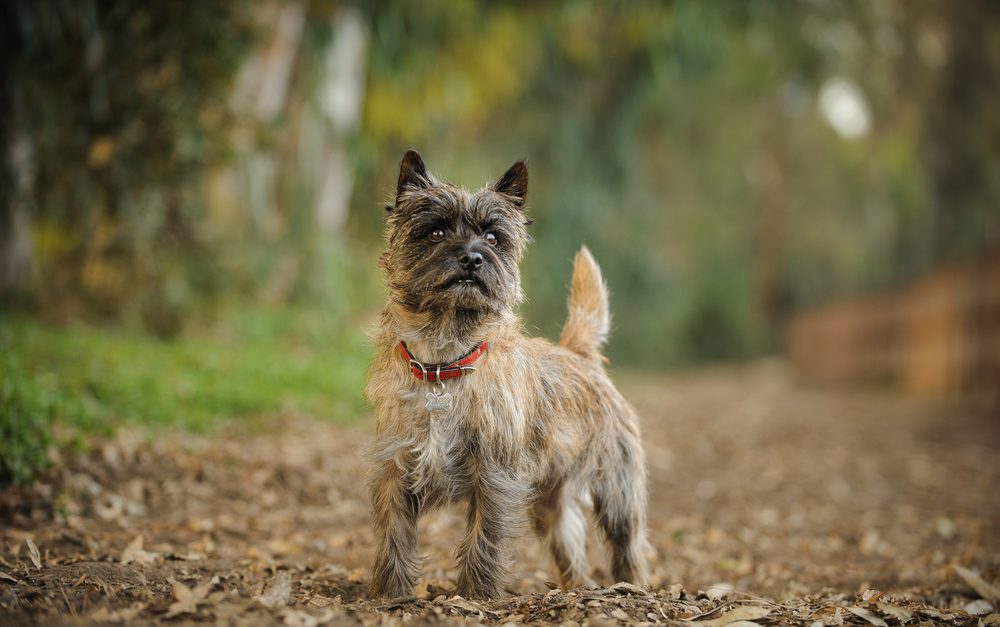 Petland Florida picture of cute Cairn Terrier standing in forest.