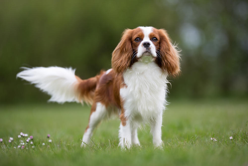 Petland Florida picture of a cute Cavalier King Charles Spaniel dog standing in a field on a sunny day.