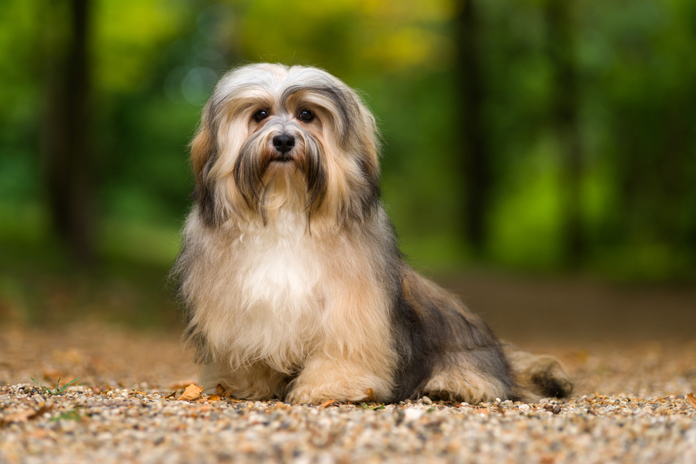 Petland Florida picture of cute Havanese sitting on a gravel forest road and looking at camera.