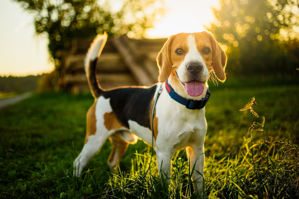 Petland Florida picture of a cute Beagle standing in a field during sunset.