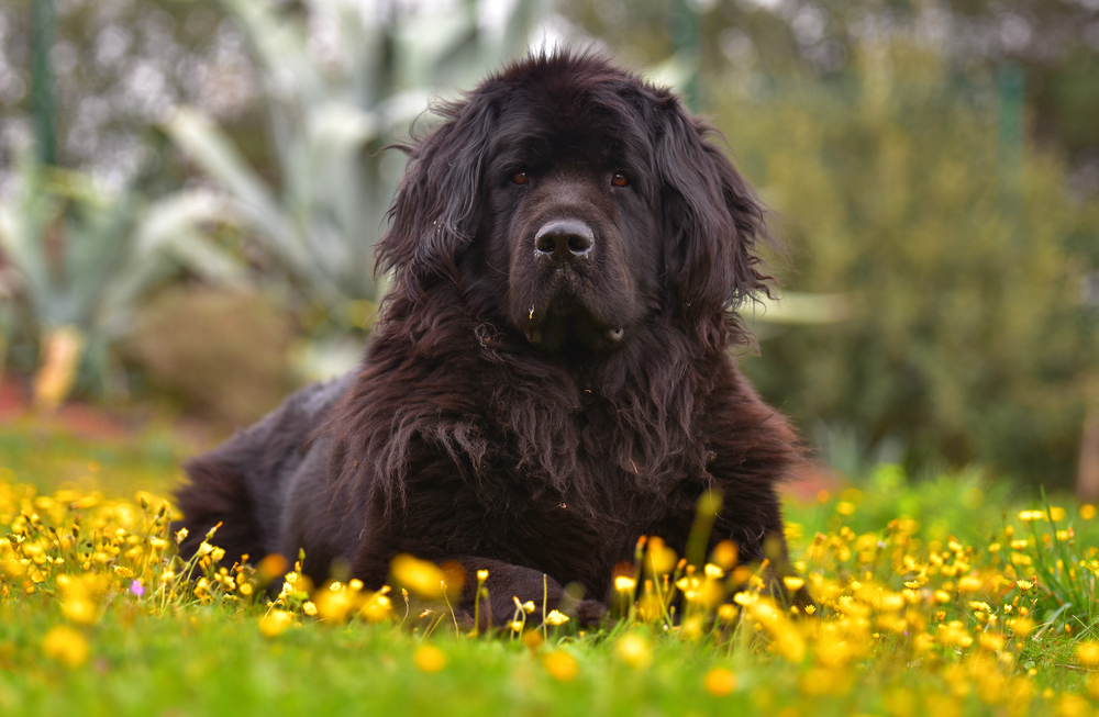 Petland Florida picture of beautiful Newfoundland dog laying in a field of yellow flowers.