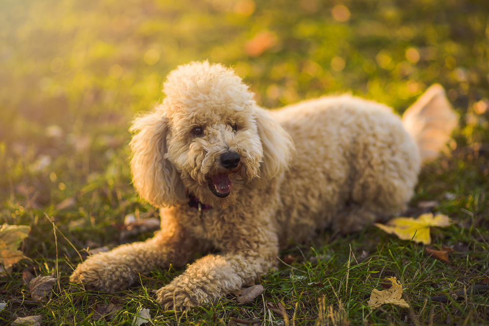 Petland Florida picture of cute Miniature Poodle laying on a field during sunset.