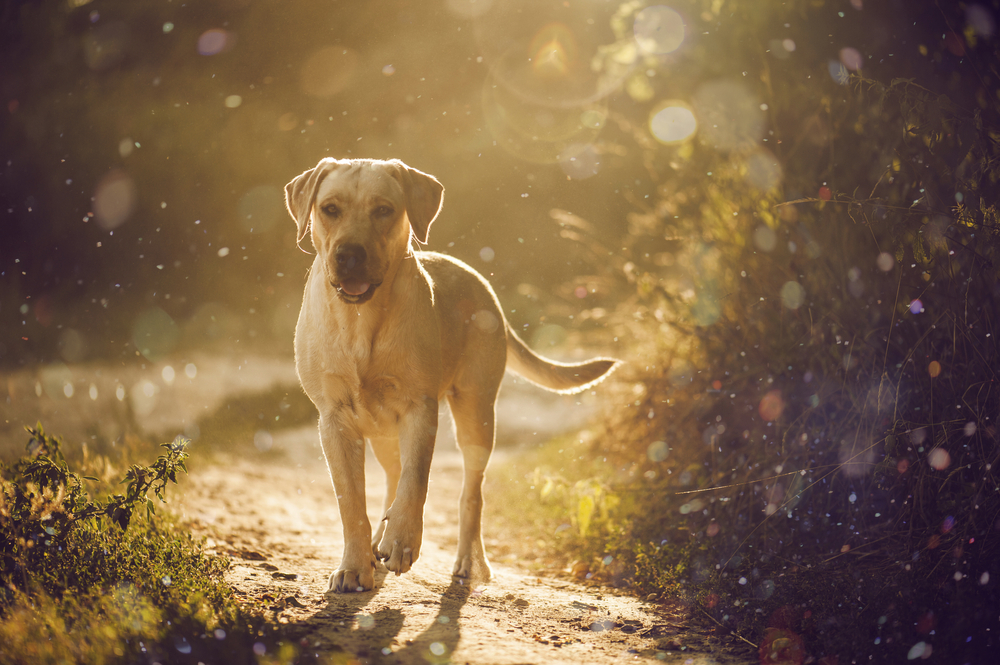Petland Florida picture of Labrador Retriever hiking on a trail in a park.