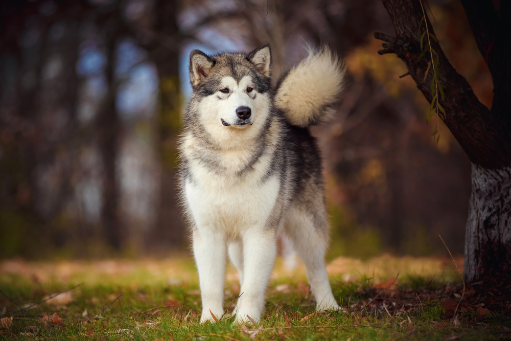 Petland Florida picture of Alaskan Malamute standing in a park while hiking.