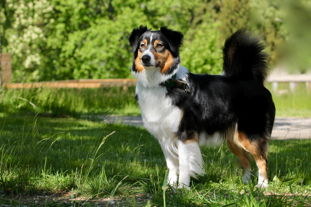 Petland Florida picture of a beautiful Australian Shepherd standing in grass while hiking.