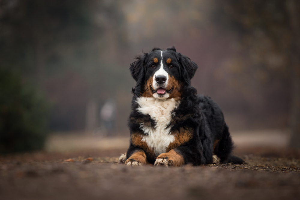 Petland Florida picture of cute Bernese Mountain Dog sitting on a dirt path while hiking.