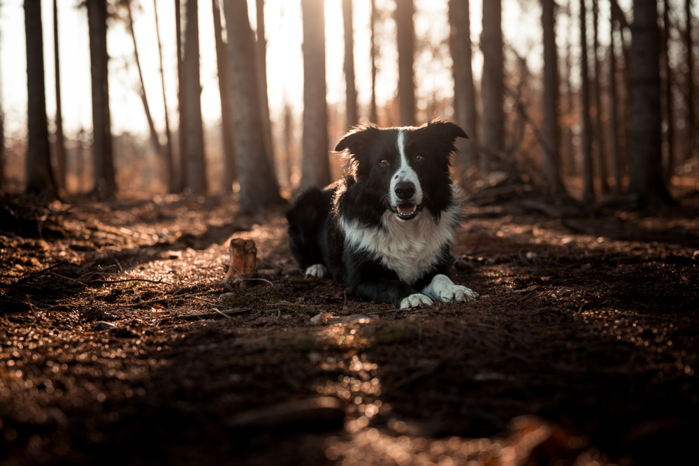 Petland Florida picture of Border Collie sitting on a dark path in a forest.