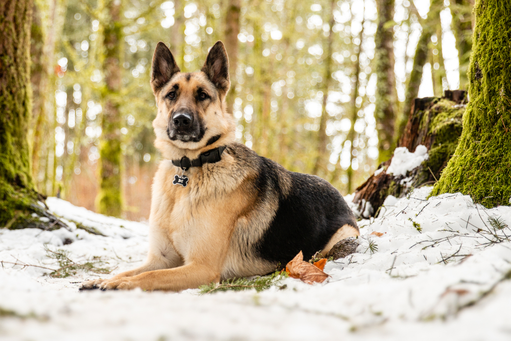 Petland Florida picture of German Shepherd sitting on a patch of snow while hiking in a forest.
