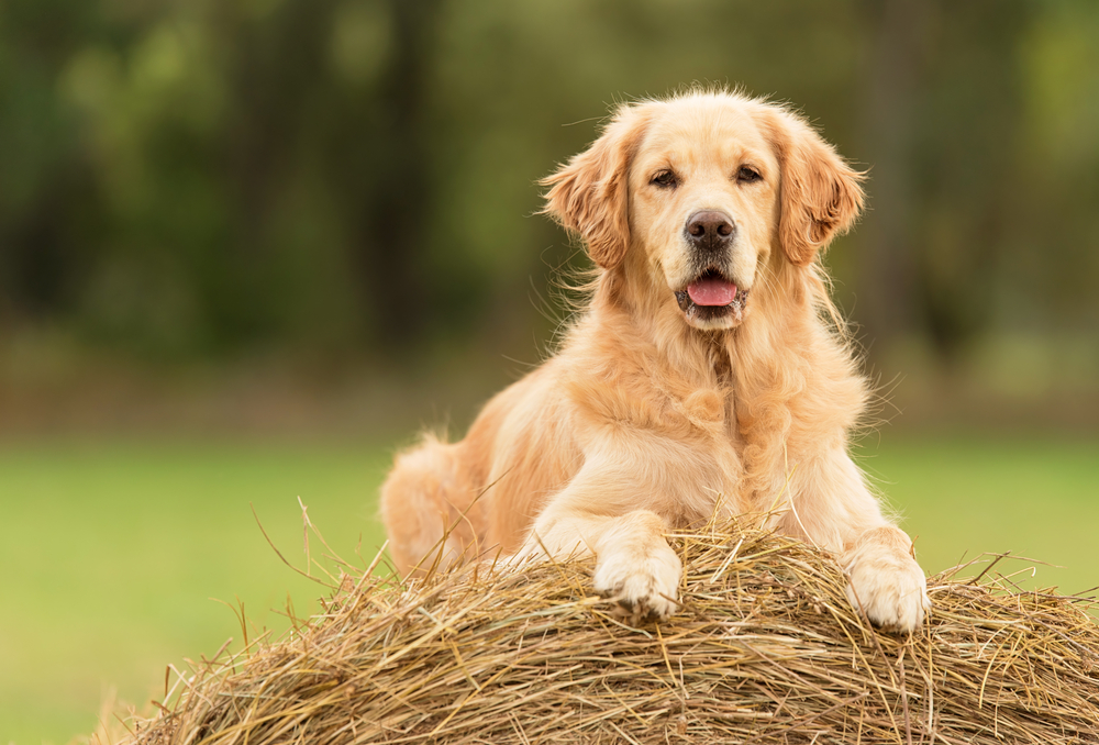 Petland Florida picture of a cute Golden Retriever sitting on a hay bale.