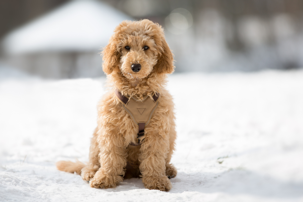 Petland Florida picture of Poodle sitting in a snowy path and staring at camera.