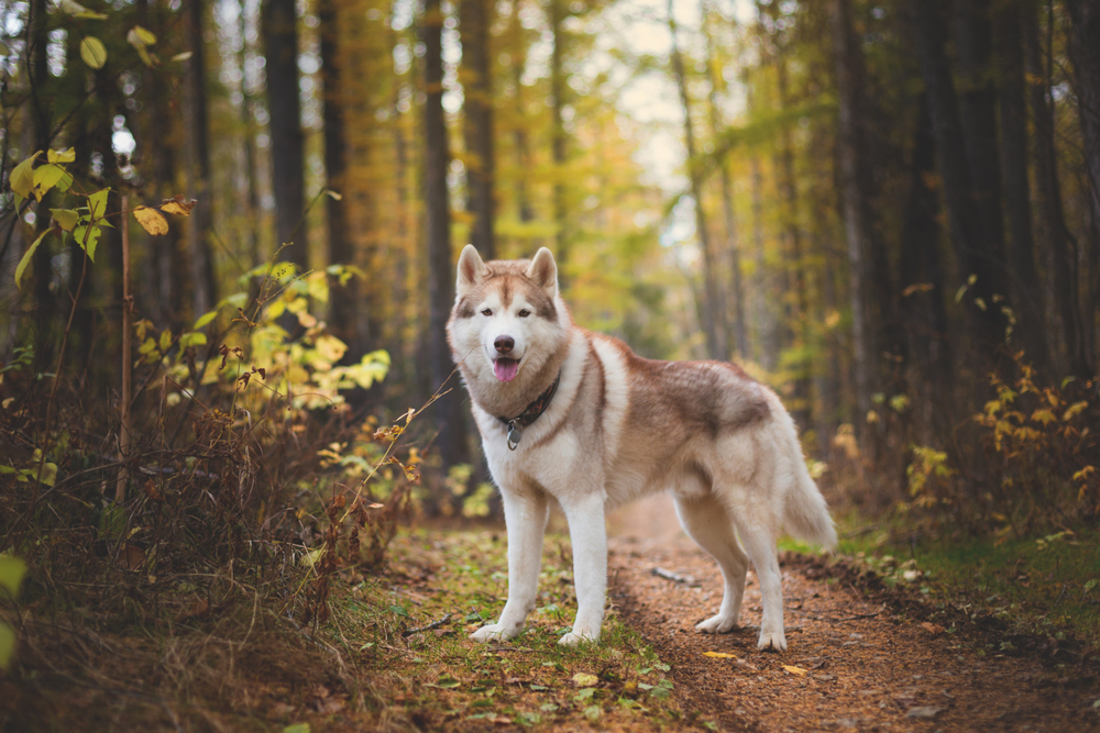Petland Florida picture of a Siberian Husky standing on a path in a forest.