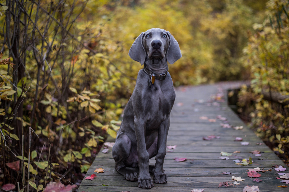 Petland Florida picture of a beautiful Weimaraner sitting and looking at camera while hiking.
