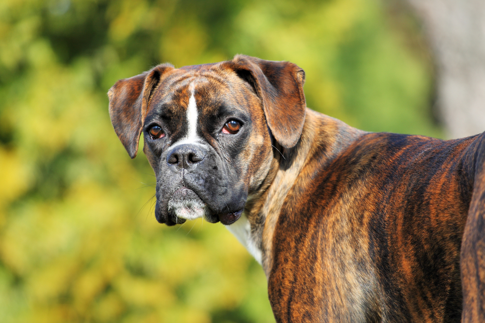 Petland Florida picture of a cute and lovable Boxer dog staring at the camera.