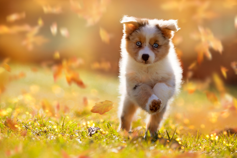Petland Florida picture of cute Australian Shepherd puppy running over a meadow.