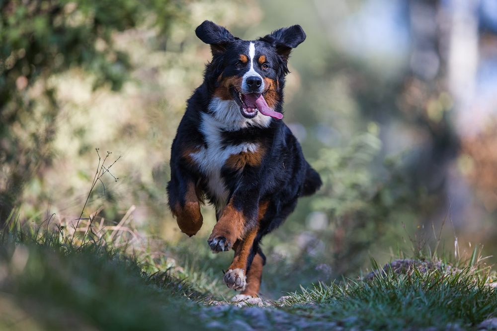 Petland Florida picture of Bernese Mountain Dog running in a forest.