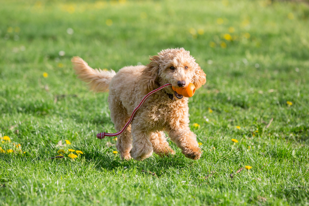 Petland Florida picture of a cute Poodle puppy running in a field while holding a ball.