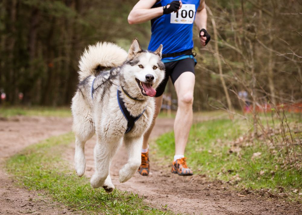 Petland Florida picture of Siberian Husky running on a trail with its owner.