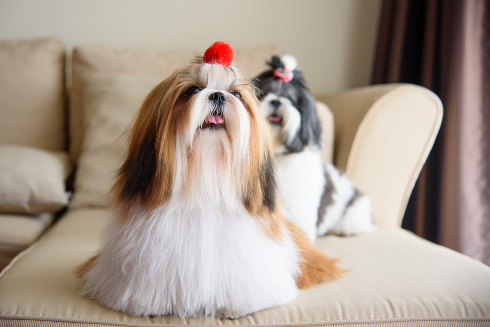 Petland Florida picture of 2 adorable Shih Tzu dogs sitting on the couch.