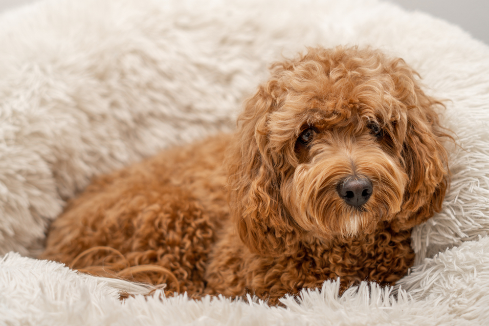 Cavapoo puppy sitting in its bed for Petland Florida.