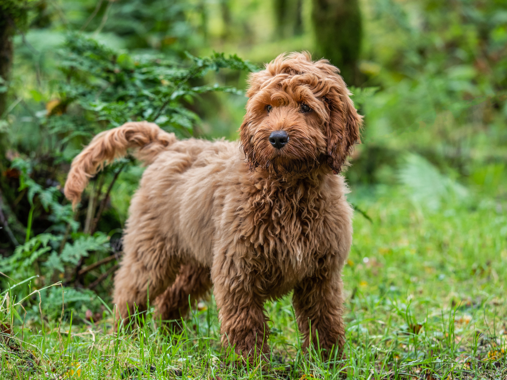 a Cockapoo puppy standing in a forest.