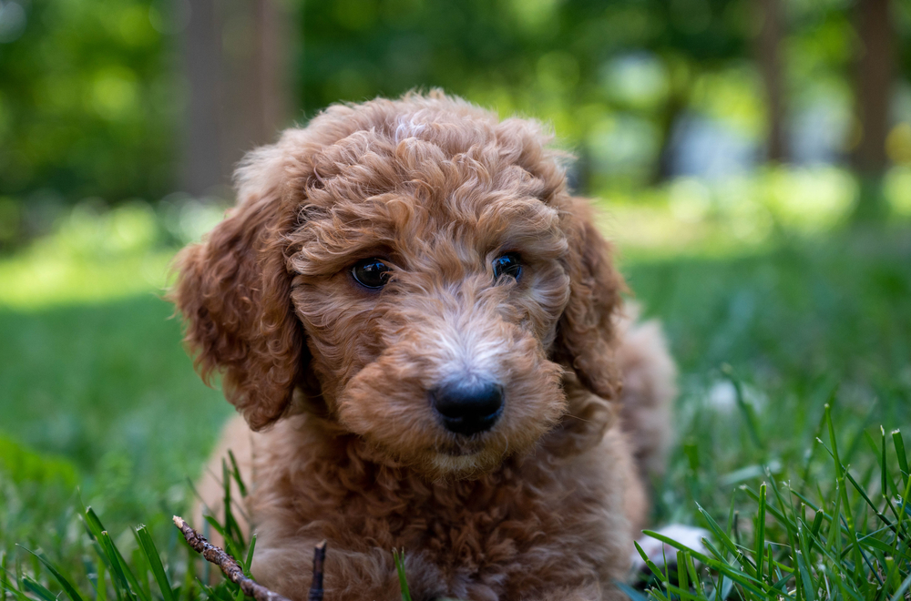 Goldendoodle puppy laying in a grassy field.