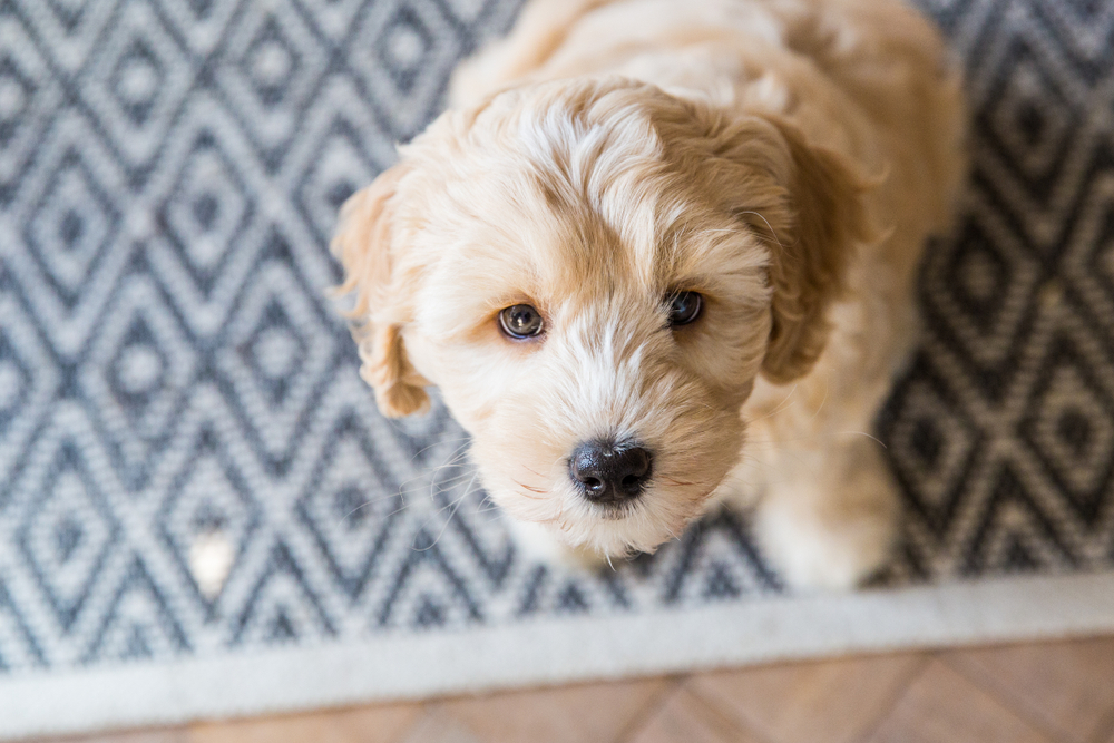 Labradoodle puppy sitting on a blue patterned rug on the floor for Petland Florida.