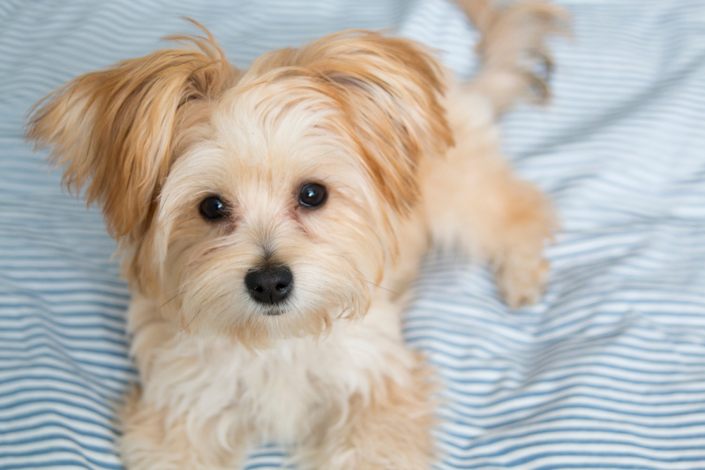 Cute Morkie Poo puppy looking at the camera while sitting on a bed for Petland Florida.